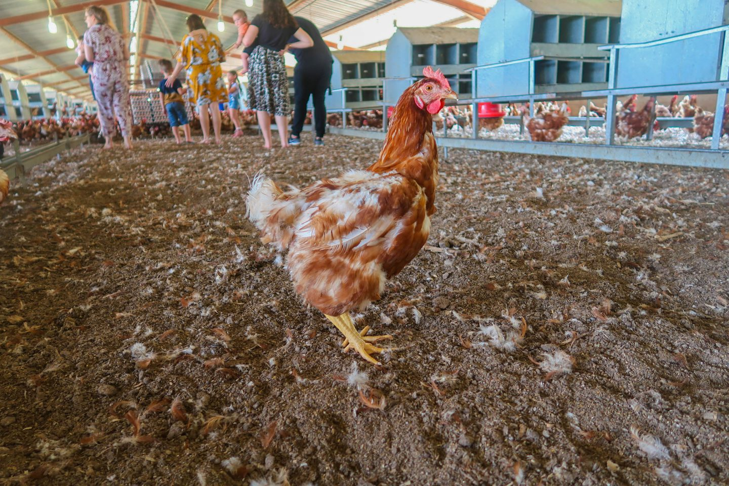 Cage free barns for hens