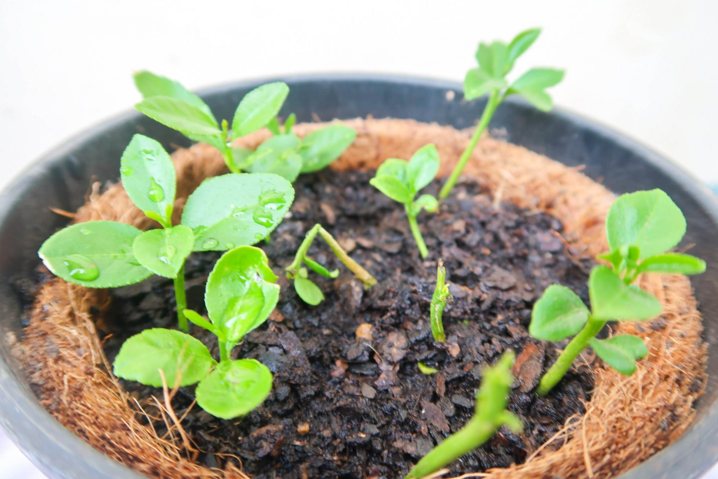 growing lemons from seeds
