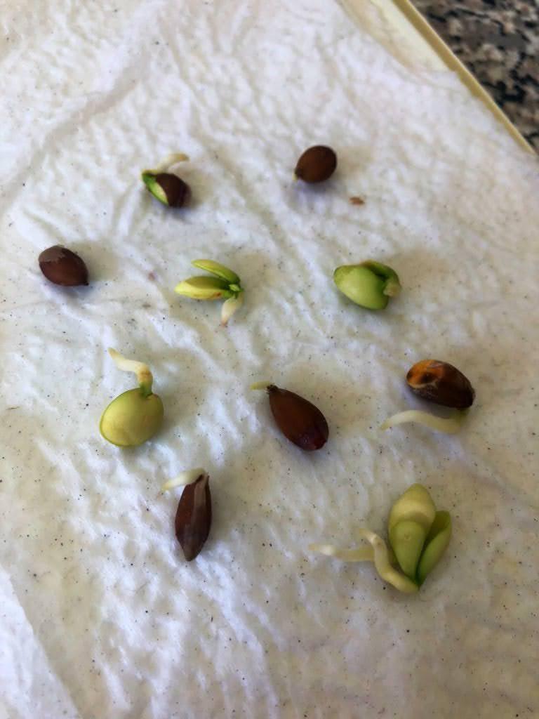 lemon seeds germinating